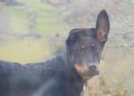 Chien Chinook portrait Beauceron - Beauceron Femelle (0 mois)