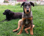 Chien Heydie 4 mois - Beauceron  (4 mois)