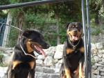 Chien Nourka et snoop - Beauceron  (0 mois)