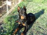 Chien Turkan 14 mois - Beauceron  (1 an et 2 mois)