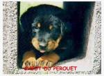 Chien bebelle - Beauceron Femelle (9 mois)