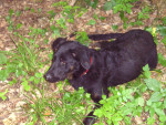Chien Dingo - Beauceron Mâle (7 mois)
