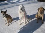 Chien Missy and Friends - Chien de Montagne des Pyrénées Femelle (3 ans)