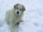 Chien chien de montagne des pyrenees - Chien de Montagne des Pyrénées  (0 mois)