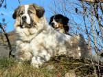 Chien Echo 4 ans et Ginger 2 ans - Chien de Montagne des Pyrénées Femelle (4 ans)