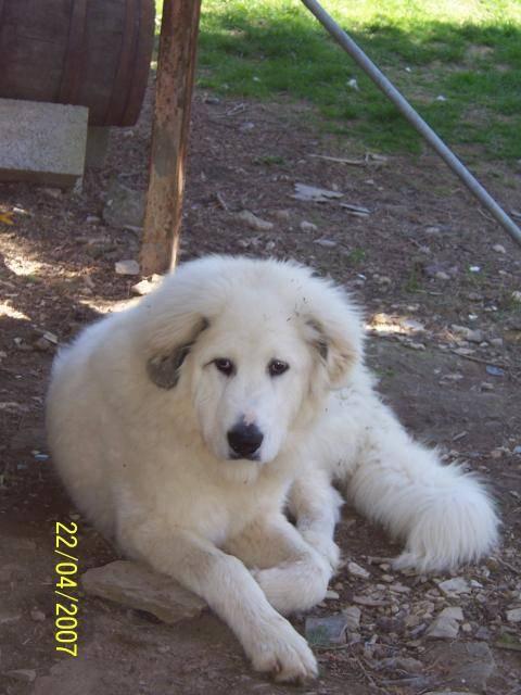 Photo patou chien de montagne des pyrénées : Patou