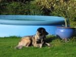 Chien Estrela - (BRUXA prop : Martine Ancion - Belg) - Chien de Montagne Portugais  (0 mois)