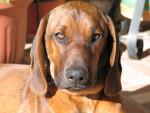 Chien Curro - Chien de Rouge de Bavière Mâle (2 ans)