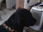 Chien paco(g froid!me rechauffe!!) - American staff Femelle (4 ans)
