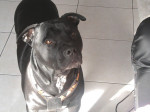 Chien paco - American staff Femelle (4 ans)