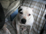 Chien american staffordshire terrier OLLYGAN - American staff Femelle (0 mois)
