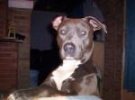 Chien amstaff gandja (American Staffordshire Terrier) - American staff Femelle (0 mois)