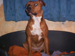 Chien amstaff xena - American Staffordshire Terrier - American staff Femelle (0 mois)
