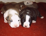 Chien amrican staff (American Staffordshire Terrier) - American staff  (0 mois)