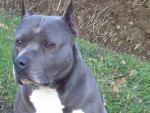 Chien amrican staff -- American Staffordshire Terrier - American staff  (0 mois)