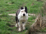 Chien American Staffordshire Terrier - American staff  (0 mois)