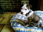 Chien Tyson american staffordshire terrier - American staff  (0 mois)