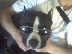 Chien encore et toujours Nino american staffordshire terrier - American staff  (0 mois)