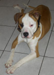 Chien lucky (american staffordshire terrier) - American staff  (0 mois)