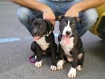 Chien américan staffordshire terrier - American staff  (0 mois)