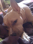 Chien american staffordshire terrier NIKITA - American staff  (0 mois)