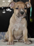 Chien american staffordshire terrier NIKITA - American staff  (0 mois)