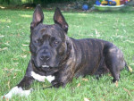 Chien Contakt amstaff 3ans - American staff  (0 mois)