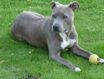 Chien L'American Staffordshire terrier - American staff  (0 mois)