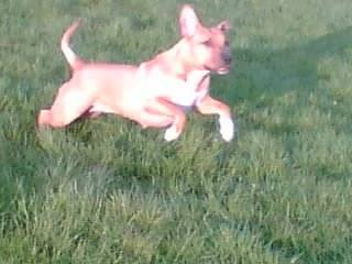 Chien American Staffordshire Terrier Yza - American staff  (0 mois)