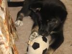 Chien Syerra as a Pup - Chien du Groenland Femelle (2 mois)