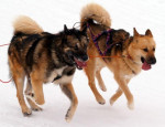 Chien chien du Groenland - Raska et Vaigat - Chien du Groenland  (0 mois)