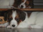 Chien Freja - Chien hollandais de Carnadiere Femelle (8 mois)