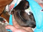 Chien Thaï Ridgeback Dog - Chien thaïlandais à crête dorsale Femelle (0 mois)