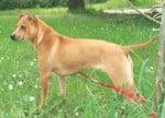 Chien Thaï Ridgeback Dog - Chien thaïlandais à crête dorsale  ()