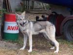 Chien chien loup de  saarloos - Chien-loup de Saarloos  ()
