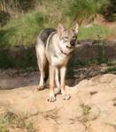Chien Loup de saarloos : Enyéto 11 mois - Chien-loup de Saarloos  (11 mois)