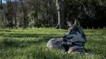 Chien San - Chien-loup de Saarloos Femelle (1 an)