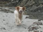 Chien mon chien - Epagneul Breton Femelle (6 ans)