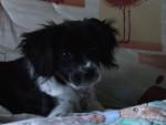 Chien canelle - Epagneul Breton Femelle (5 mois)