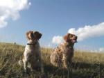 Chien Caline et Cissy, epagneuls Bretons - Epagneul Breton  (0 mois)