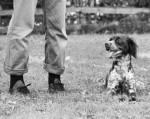 Chien Charlie - Epagneul Breton Femelle (0 mois)
