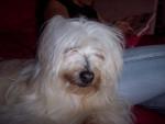 Chien princesse - Coton de Tuléar Femelle (5 ans)