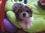 Chien Anya - Coton de Tuléar Femelle (3 mois)