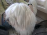 Chien domono mon chien tout minion - Coton de Tuléar Mâle (3 ans)