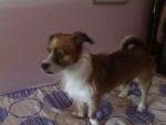 Chien yaki - Dogue de Majorque Mâle (1 mois)