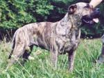 Chien Dogo Canario - Dogue des Canaries  (0 mois)