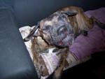 Chien dogo canario VENUS - Dogue des Canaries  (0 mois)