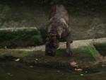 Chien dogo-canario ( weida) ouf!!!!  - Dogue des Canaries  (0 mois)