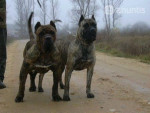 Chien dogo canario sixby - Dogue des Canaries  (0 mois)