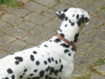Chien ades - Dalmatien Mâle (4 ans)